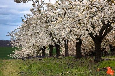 2019 04 06 - Les cerisiers de Jussy - YET89-4