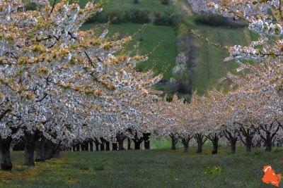 2019 04 06 - Les cerisiers de Jussy - YET89-5