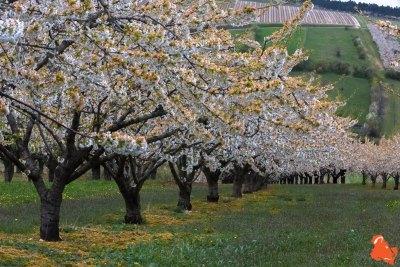 2019 04 06 - Les cerisiers de Jussy - YET89-9