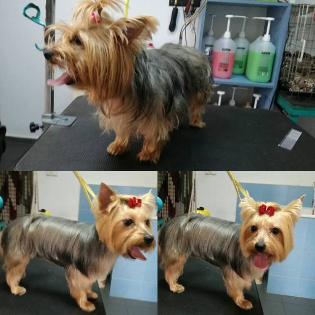 yorkie haircuts for males and females (60 + pictures