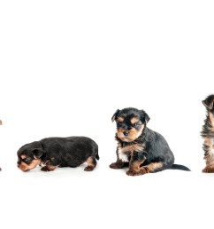 yorkie growth chart and yorkshire terrier development stages [ 6612 x 1772 Pixel ]