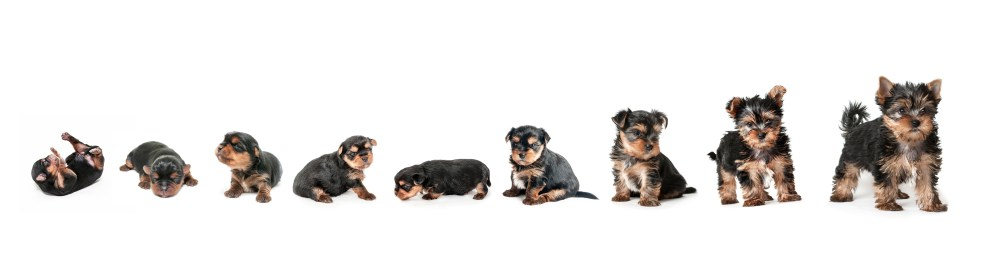 medium resolution of yorkie growth chart and yorkshire terrier development stages