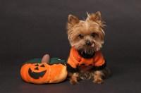 Yorkie Dog Halloween Costumes - Yorkie.Life