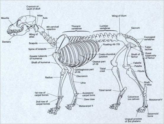 beaver skeleton diagram wiring diagrams yorkshire terriers - anatomy