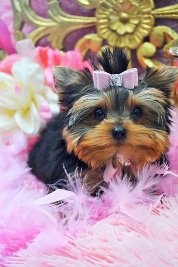 Teacup Puppies For Sale Missouri : teacup, puppies, missouri, Teacup, Yorkie,, Yorkies,, Yorkies, Sale,, Micro,, Puppies, Yorkiebabies.com, 954-324-0149