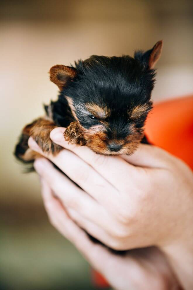 small-cute-yorkshire-terrier-dog-puppy1
