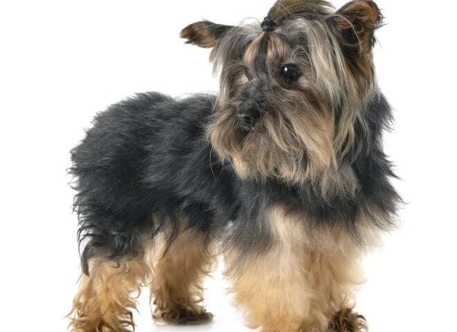10 Most Popular Myths about Yorkies
