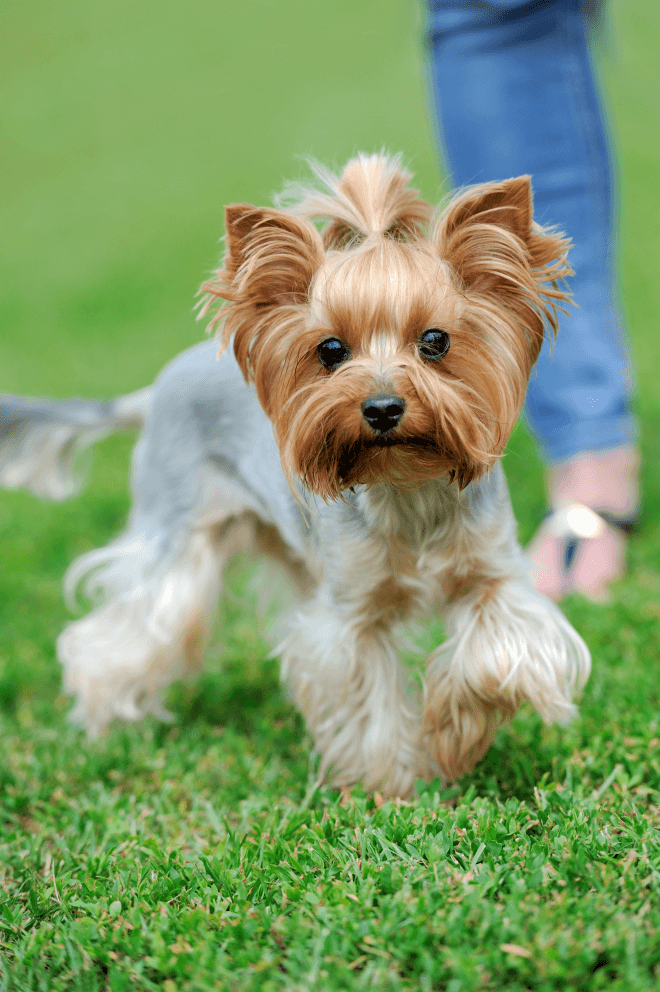 yorkshire-terrier-dog-