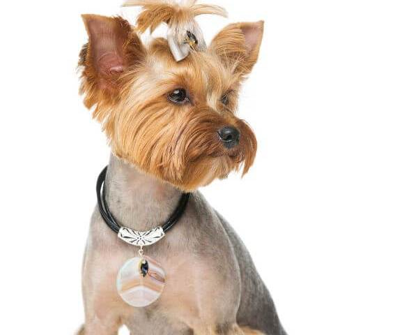 Nutrition for A Healthy Yorkie Coat