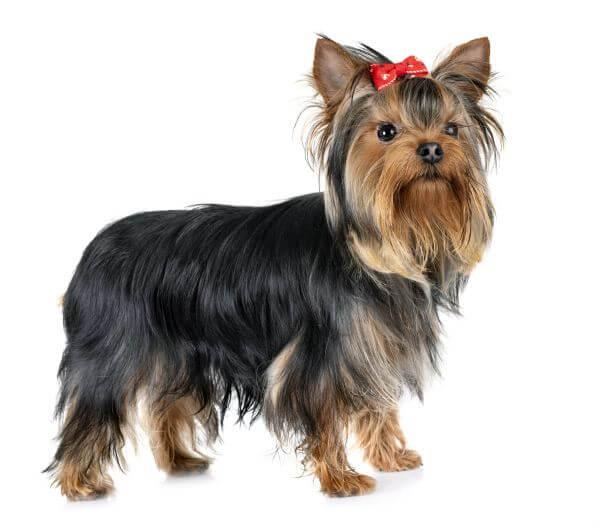 yorkshire-terrier-haircut