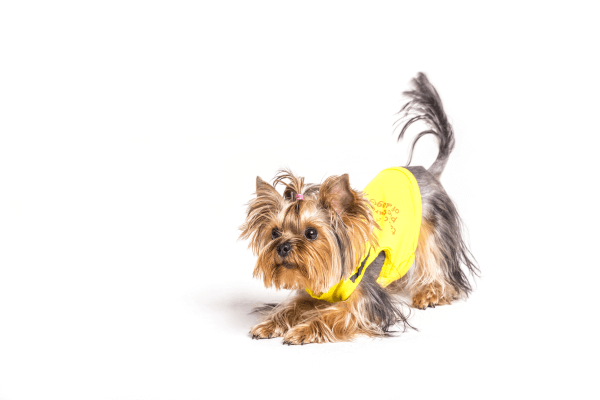 Coconut oil for Yorkshire terrier