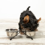 Yorkie Food: How to choose?