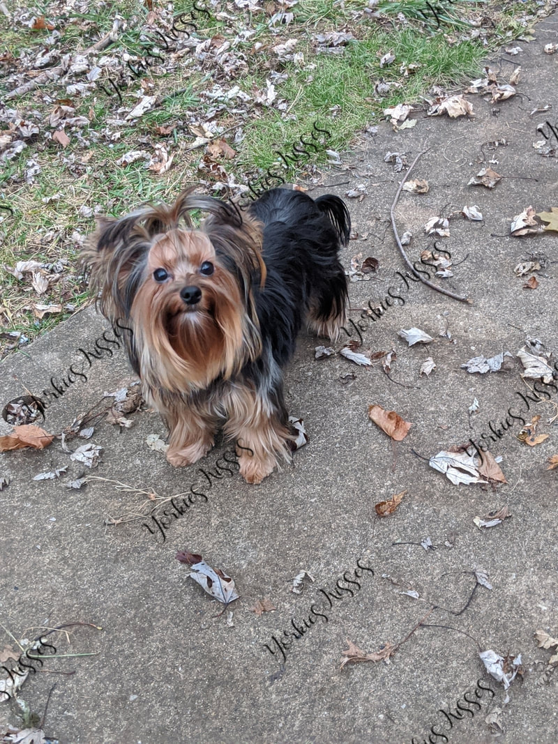 JaLa Yorkshire Terriers ~ Indiana Yorkie Puppies for Show