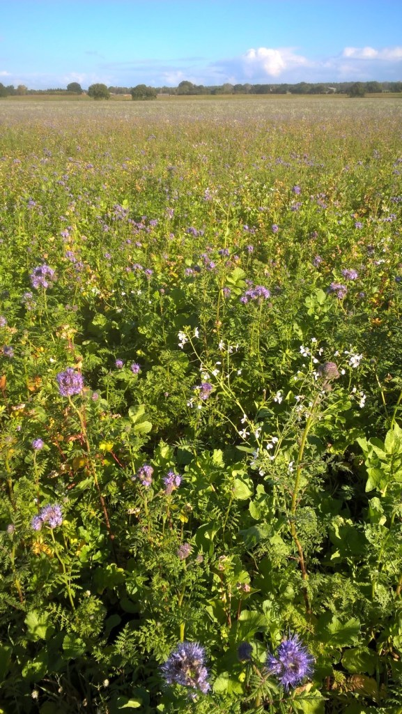 Cover crop of Phacelia