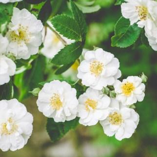Rose 'Rambling Rector'