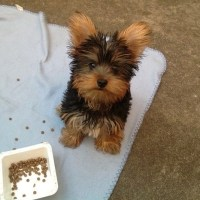 Find the best dog food for Yorkies