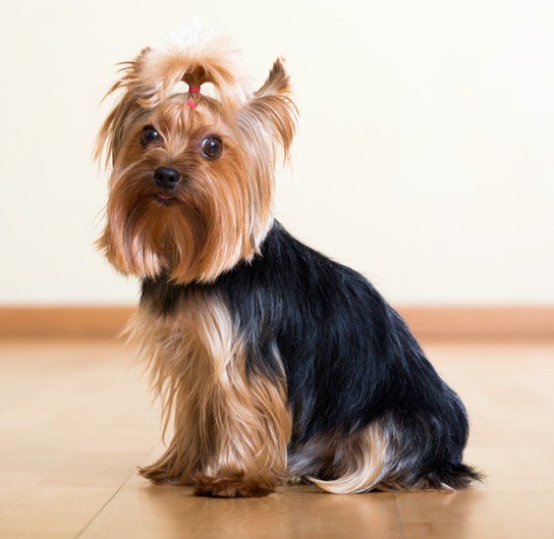 Nutrition key to healthy Yorkie coat