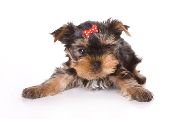 Hypoglycemia in Yorkshire Terriers A Risk
