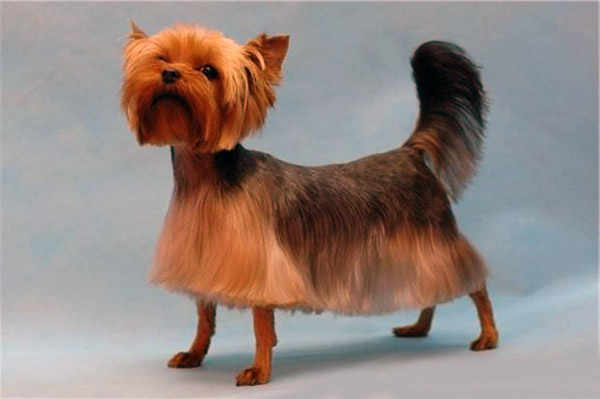 Explore Yorkie Haircuts Pictures And Select The Best Style For