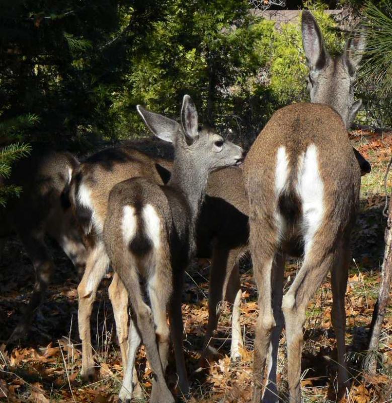 Yosemite Falls Wallpaper Mule Deer Yosemite Explorer