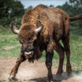 新型コロナウイルスの蔓延に怒る牛