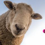 不思議に思う羊