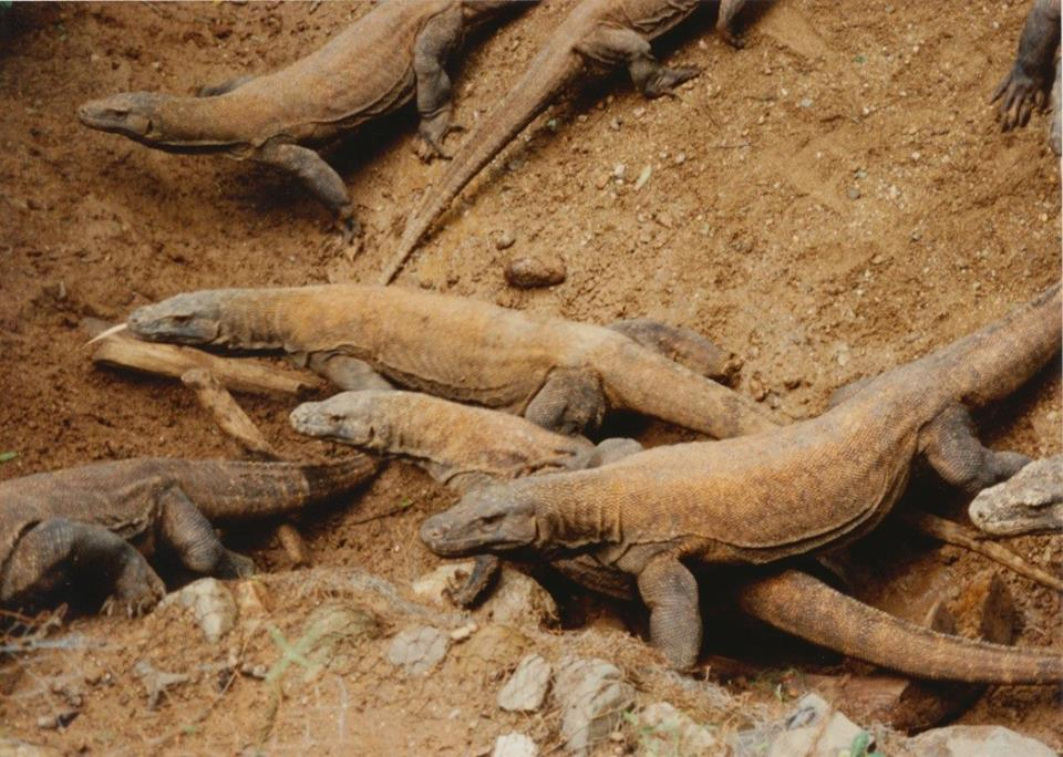 Komodo Dragons on Komodo Islands, Indonesia