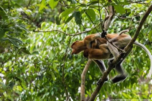 kinabatangan sabah malaysia borneo proboscis monkey
