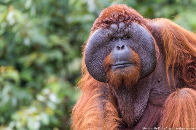 The big boss at Matang Wildlife Center