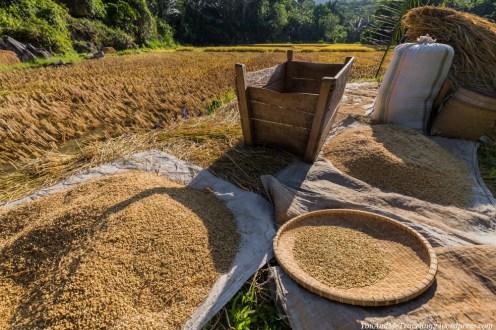 sulawesi toraja indonesia rice harvest
