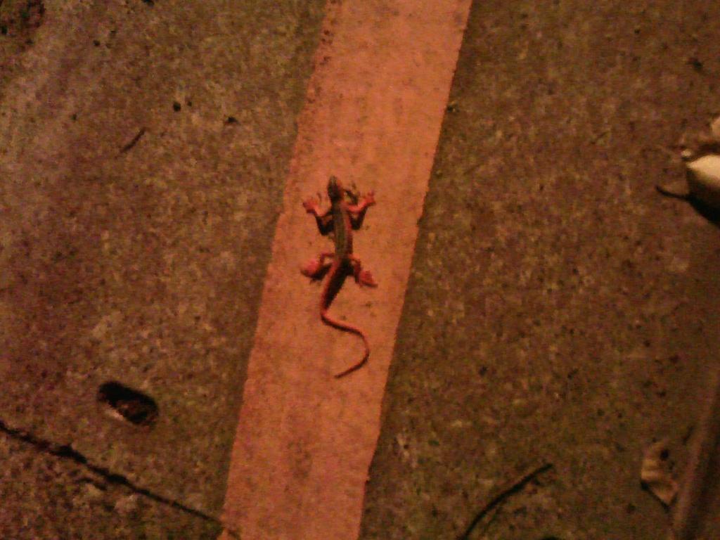 lizard-a.jpg