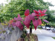 Red Leaves 02