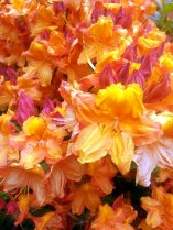 Orange Rhody