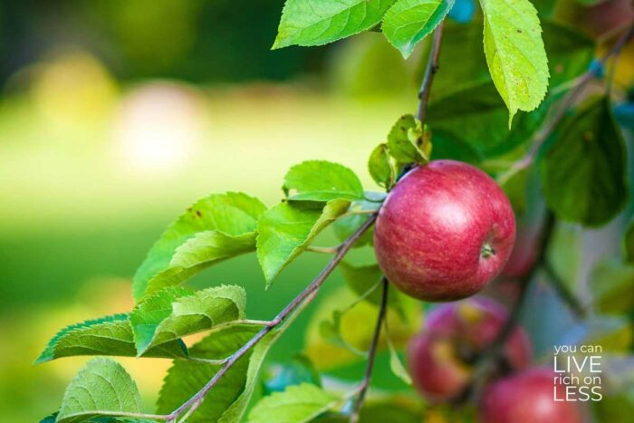 red apple on an apple tree branch in an orchard