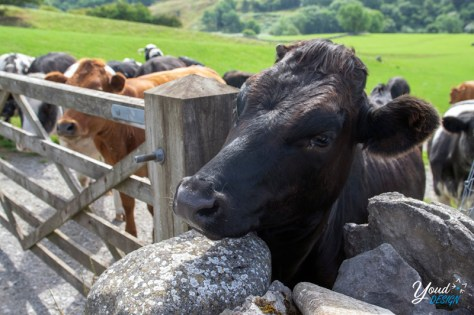 Cows encountered on a stroll through Malham.