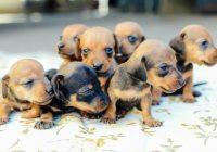 Teacup Dachshund Size - Goldenacresdogs.com