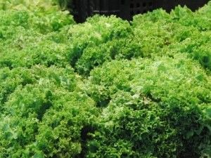 Escarole - Healthy plant-based food starting with E