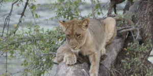 Lounging lioness.
