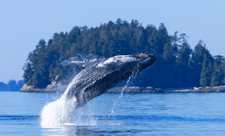 Baleine+au+fleuve+Saint-Laurent