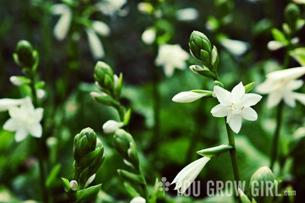 You grow girl white hosta flowers mightylinksfo