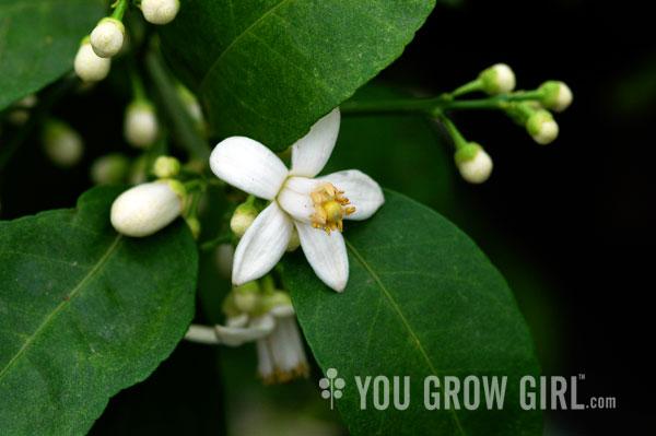 you grow girl meyer lemon blossoms. Black Bedroom Furniture Sets. Home Design Ideas