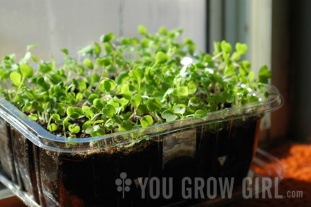 You Grow Girl How To Grow Microgreens On A Windowsill