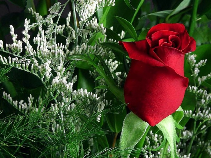 rose images for propose day