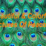Top 100+ Most Beautiful and Colorful Pictures Of Peacock HD Images Free Download