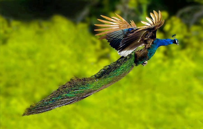 flying peacock wallpapers free hd