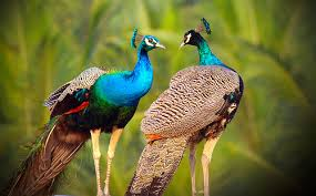 beautiful peacock couple hd wallpapers