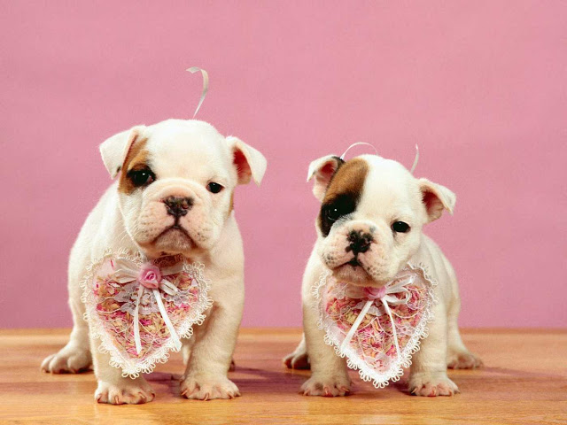 valentines day special dog wallpapers