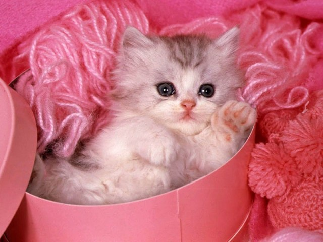 beautiful cat wallpapers free