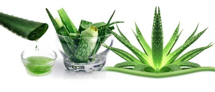 Aloe Vera Home Remedies To Treat Dandruff How To Stop Dandruff Through Home Remedies remedies to get rid off from dandruff.