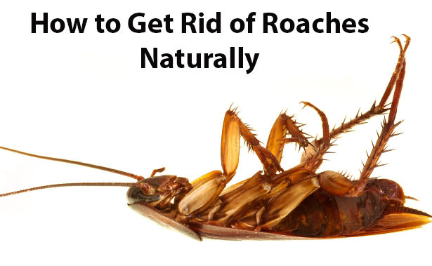 To Get Rid Of Cockroaches Naturally
